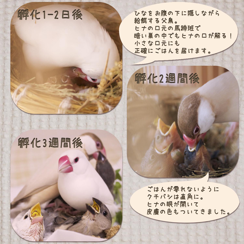 2017_花咲文鳥_01