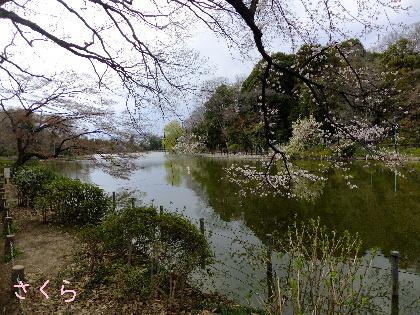さくら 善福寺池