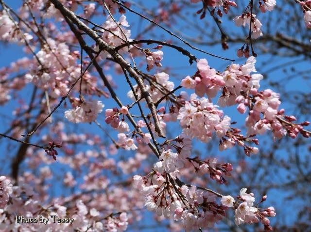 桜堤のしだれざくら