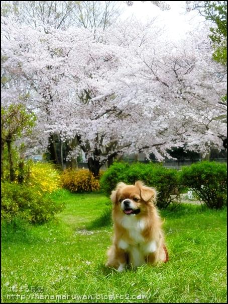 桜17hana2