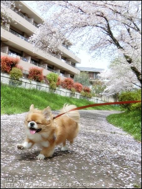 桜17hana