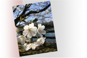 20170405桜B