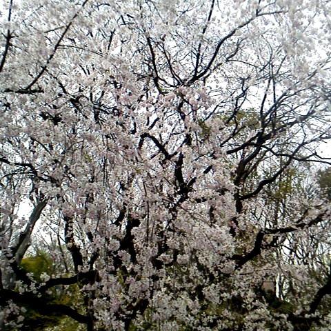 枝垂桜(しだれざくら)ちゃん見て来ますた(゚∀゚)