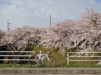 SAKURA2017042101.jpg