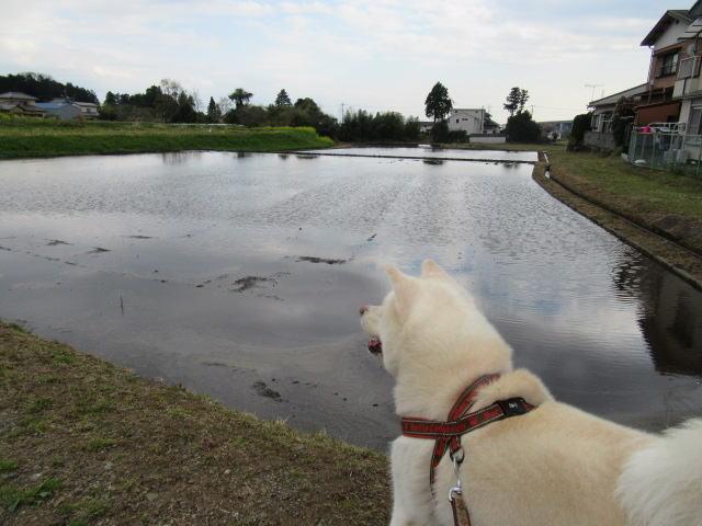 田んぼに水