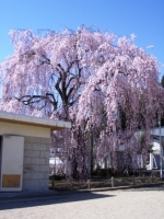 城山西小学校桜