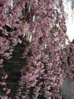 2017 4月8日桜A