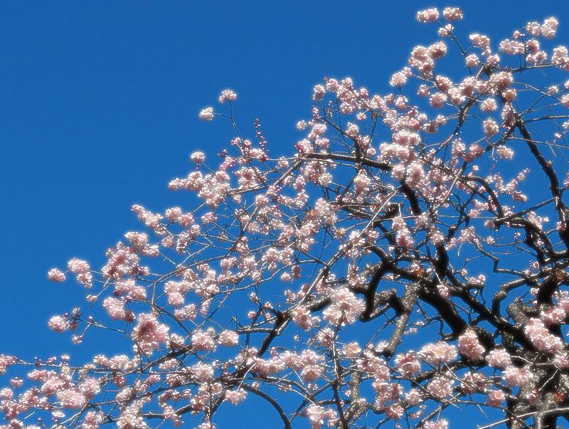 140215,梅と早咲きの桜、菜の花、辛夷の芽2
