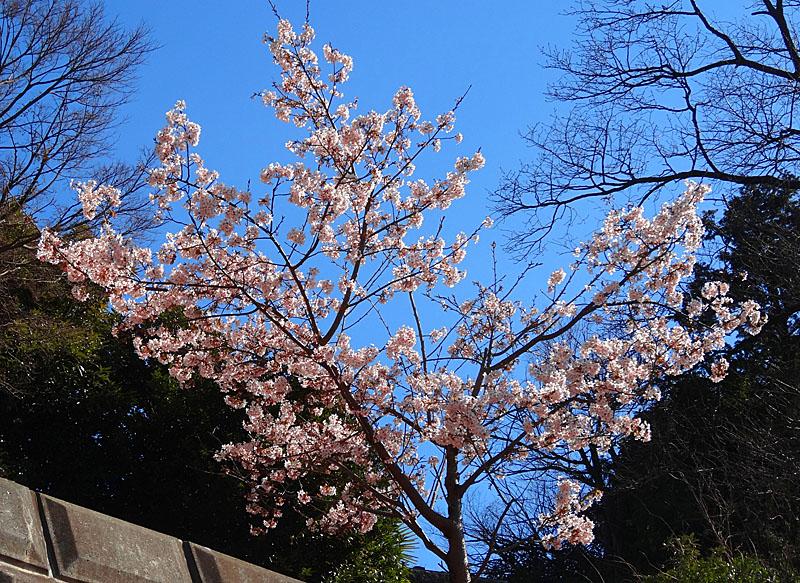 140215,梅と早咲きの桜、菜の花、辛夷の芽4