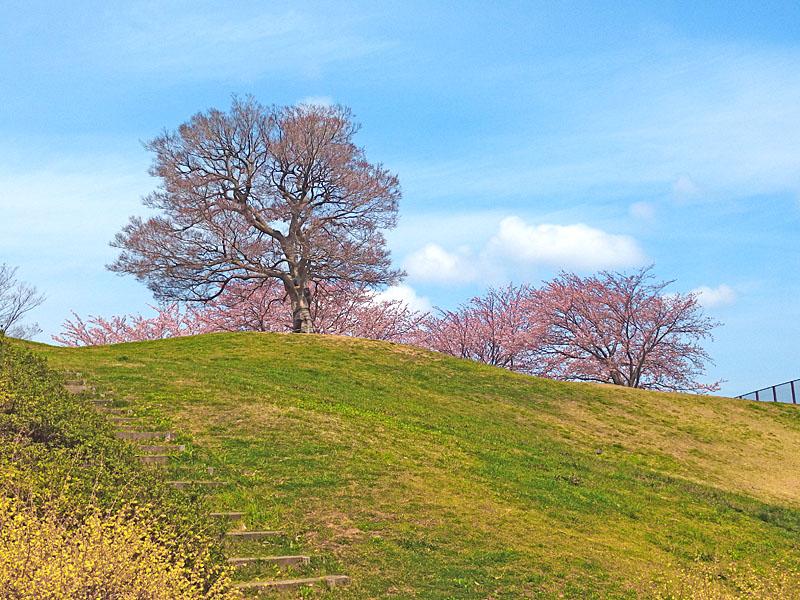 170406榎の丘と桜_1
