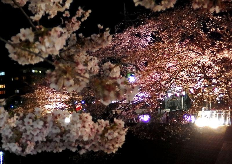 1704大岡川夜桜3