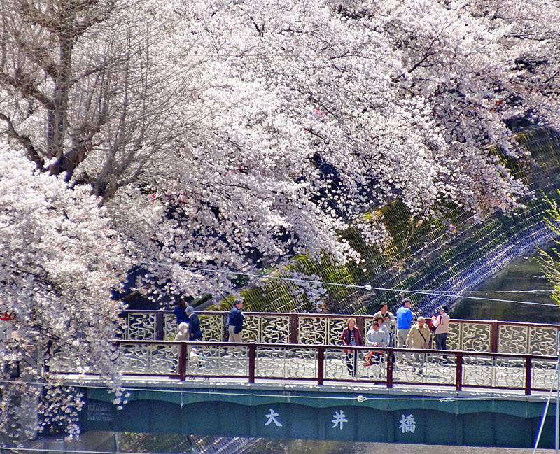 170412大岡川桜4