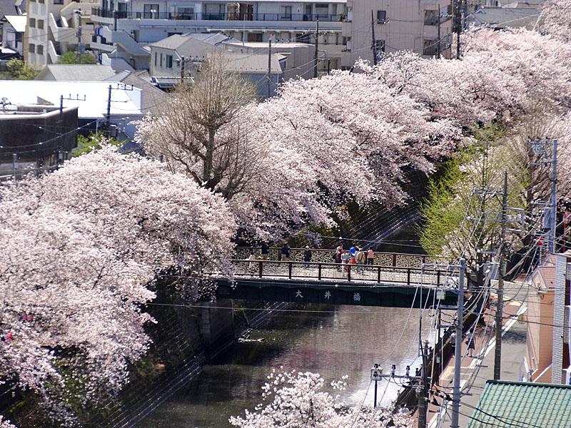 170412大岡川桜3