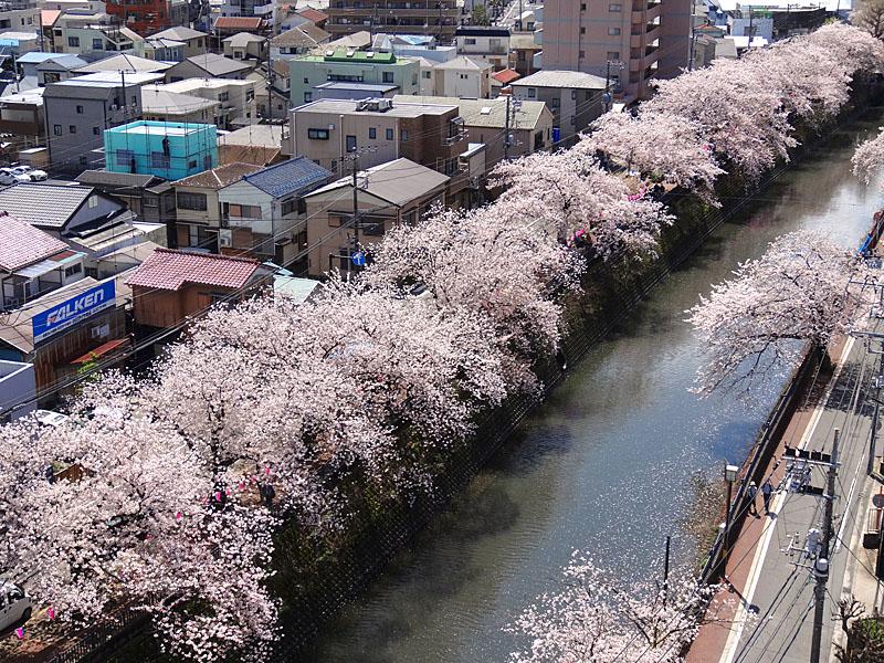 170412大岡川桜2