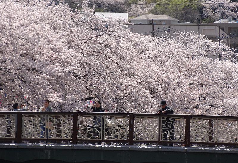 170412大岡川桜10