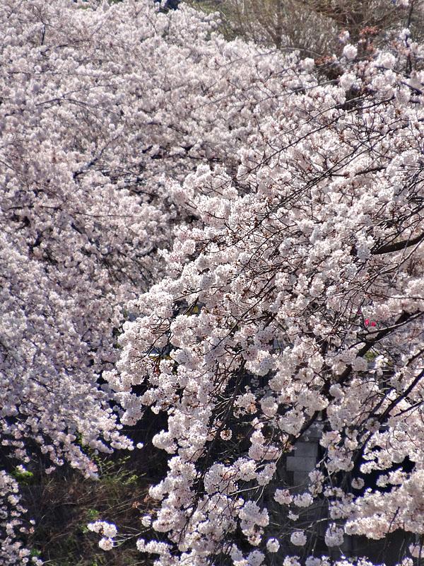 170412大岡川桜7