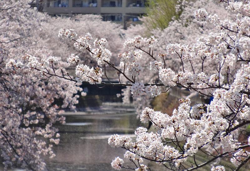 170412大岡川桜6