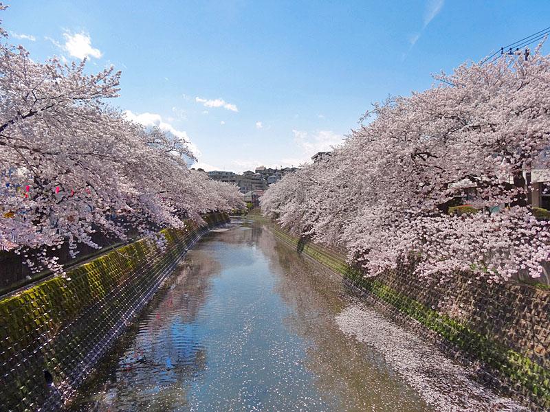 170412大岡川桜11