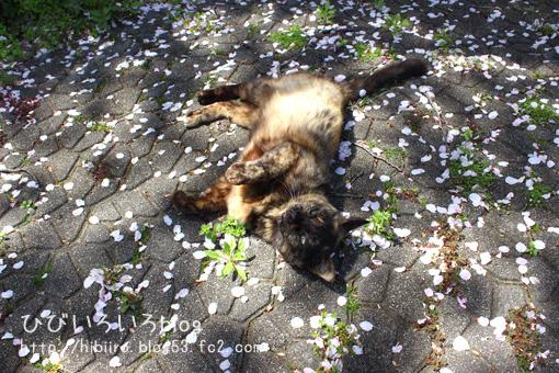またもや、エア猫写からの桜猫