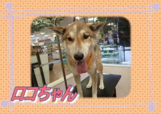 ロコちゃん419r