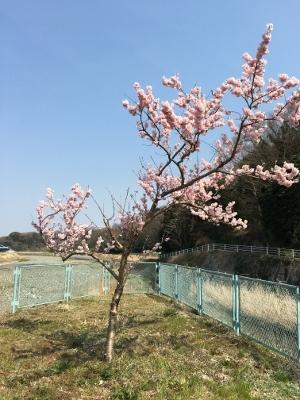 金目川沿いの桜