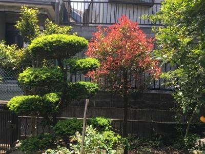 裏庭の伽羅の樹とレッドロビン