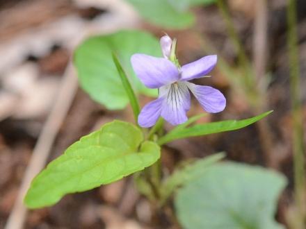 ナガバノタチツボスミレ1