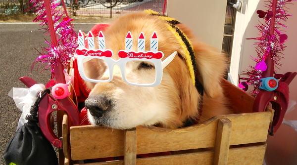 バースデー眼鏡のラヴィンたん♪