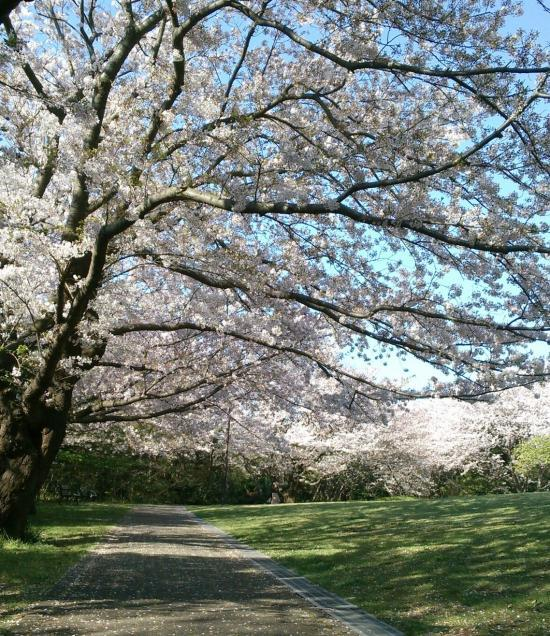 桜2(2017/4/14)_convert_20170414122936