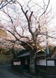 20170404桜