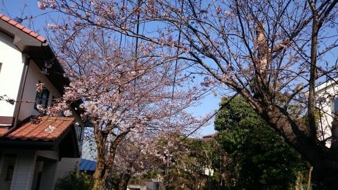 20170405桜