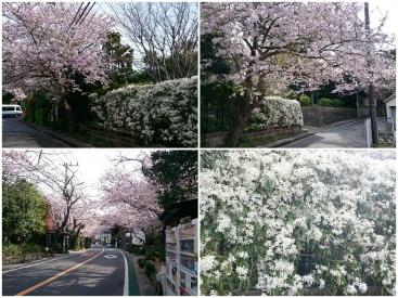 20170410桜
