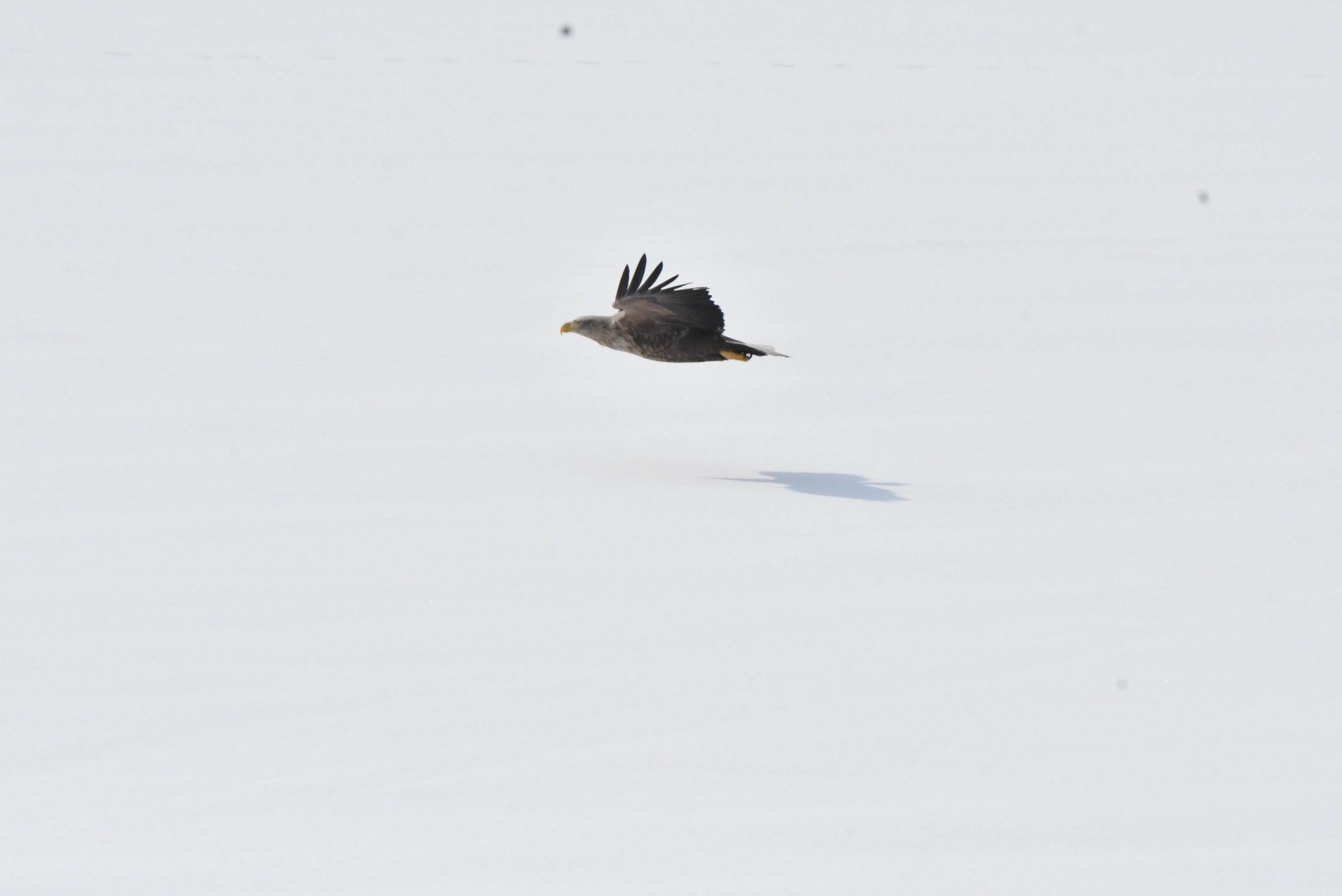雪原を飛ぶオジロワシ成鳥
