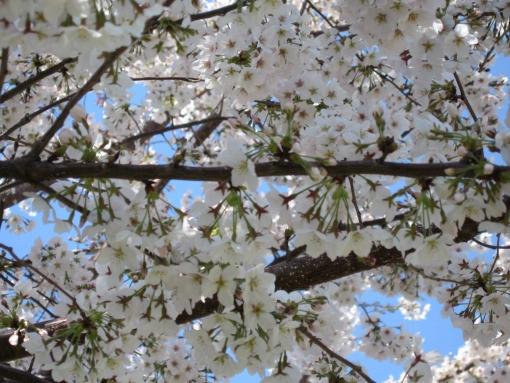 4月13日の桜