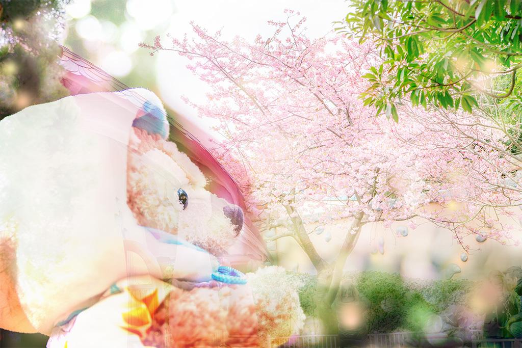 お家と桜とジゼルちゃん1