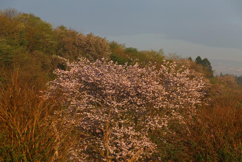 20170506山桜1