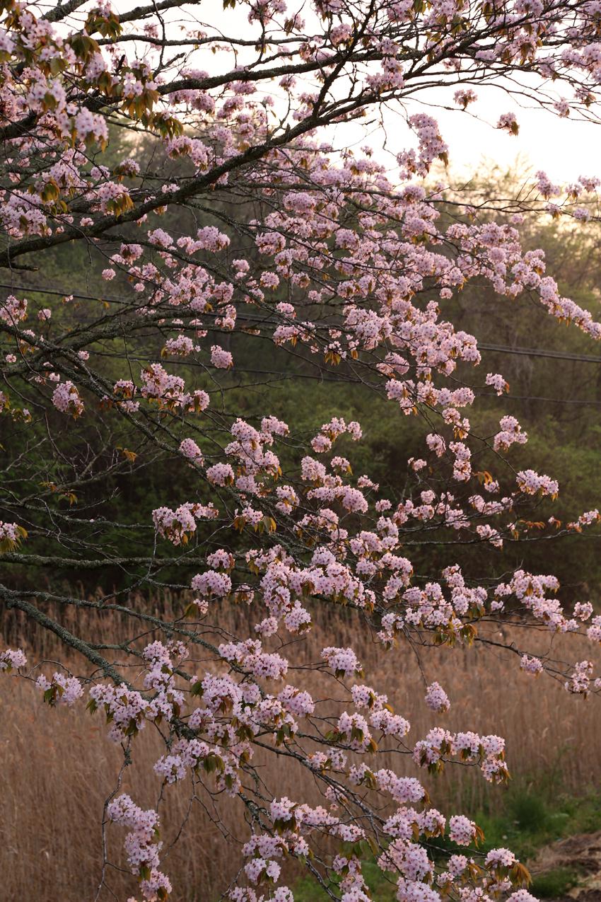 20170506山桜4