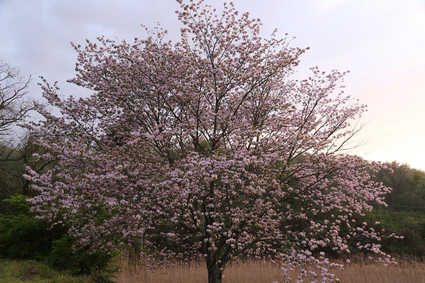 20170506山桜5
