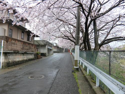 あの場所の桜今日はコンナ! その2!!