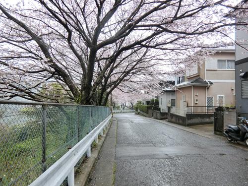 あの場所の桜今日はコンナ! その1!