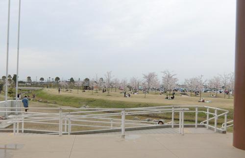 桜満開で、お花見日和。