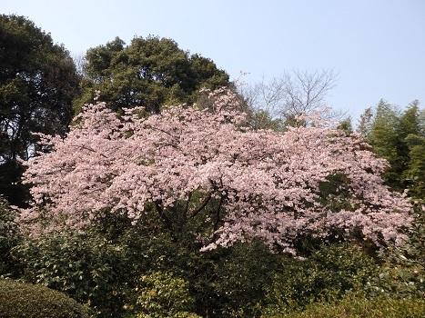「オオカンザクラ(大寒桜)・安行寒桜」