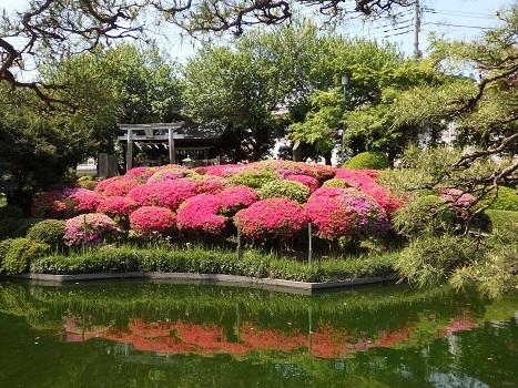 「箭弓稲荷神社 ツツジ・ボタン等(1)」