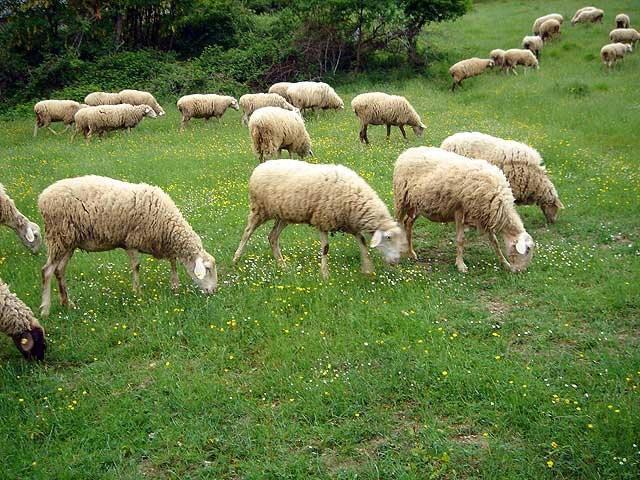 6_pecore2