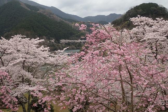 枝垂れ桜s