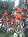 P1001499デイゴの花