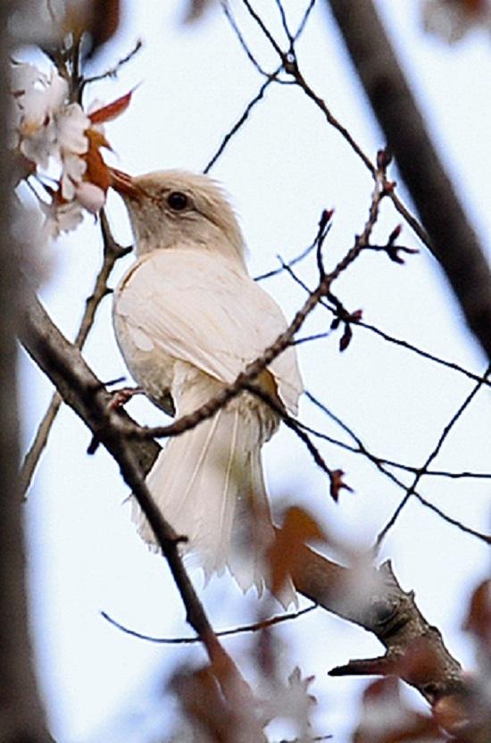 白いヒヨドリ01