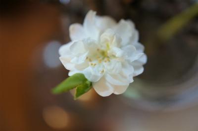 枯れ枝に花桃