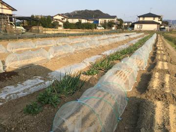 じゃが芋植え馬渡り残りの3畝9
