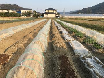 じゃが芋植え馬渡り残りの3畝10